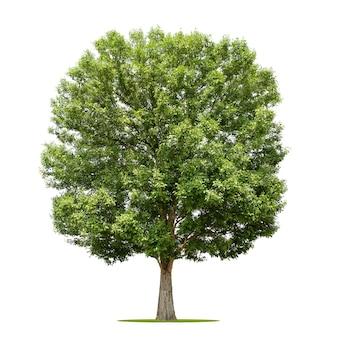 De grote boom isoleert op wit