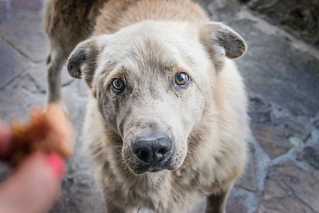 De grote dakloze hongerige hond met droevige ogen smeekt om voedsel