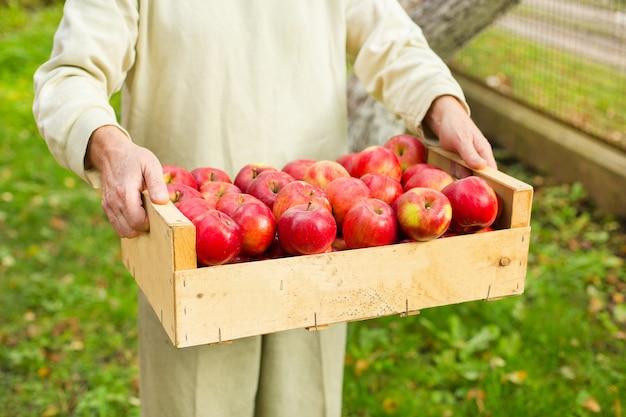 De grote doos van de mensengreep met mooie schone appel in tuin