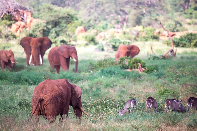 De grote familie rode olifanten op weg door de keniaanse savanne