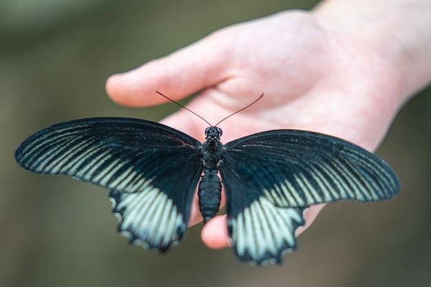 De grote gele mormoonse vlinder in vlinder edinburgh en insect wereld. geselecteerde focus.
