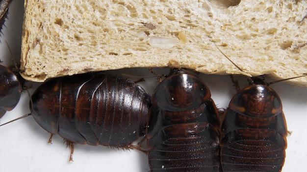 De grote kakkerlak zit op een stuk brood in een bord en eet brood. binnenlandse insecten.