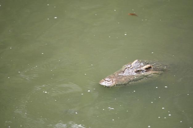 De grote krokodil op de boerderij