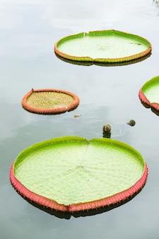 De grote lotusbloem doorbladert geïsoleerd op witte achtergrond.