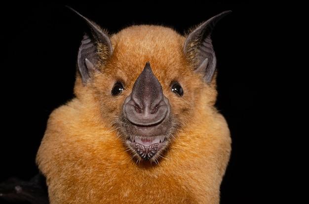 De grote speerneusvleermuis is een van de grotere vleermuizen van deze regio