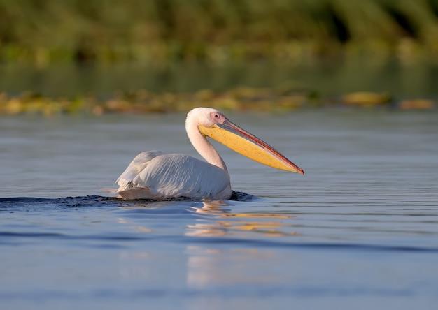 De grote witte pelikaan (pelecanus onocrotalus) in de vroege ochtend in zacht zonlichtclose-up
