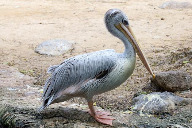De grote witte pelikaanvogel in tuin