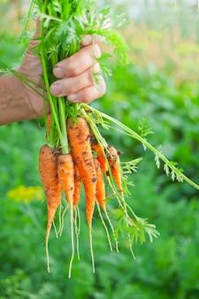 De hand die van de bejaarde een wortelenbos van de lokale landbouw in hand houdt