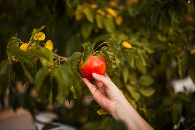 De hand die van de vrouw rode appel op boom houdt