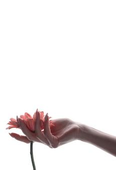 De hand die van zuivere vrouwen roze bloem houdt die op wit wordt geïsoleerd