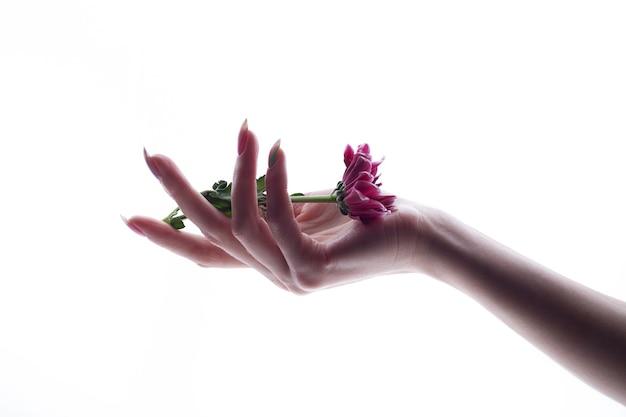 De hand die van zuivere vrouwen roze geïsoleerde bloem houdt