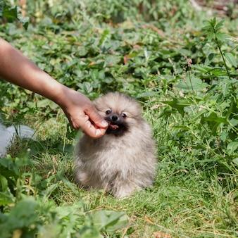 De hand geeft voedsel aan een kleine pluizige pommerse puppy in de mond. een puppy zit op het gras, het concept van hondentraining