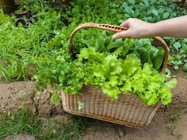 De hand houdt een rieten mand van het stro met verse groene groente in landbouwbedrijf