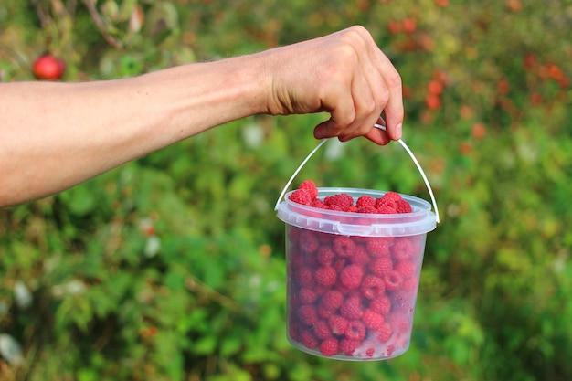 De hand houdt frambozen in plastic emmer
