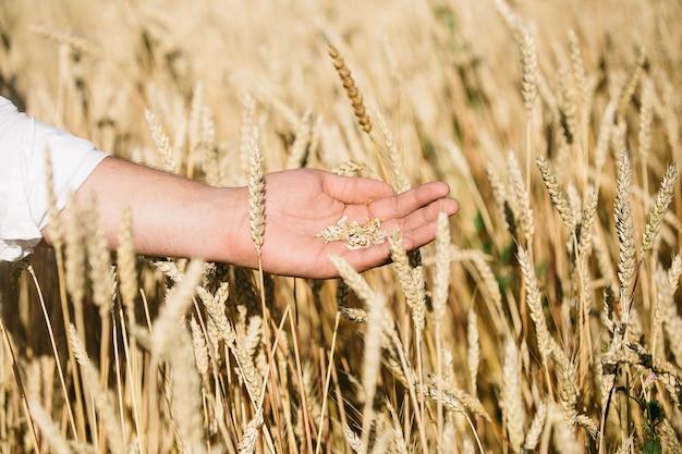 De hand van de boer met rijpe tarwe in de vroege zomer. de landbouwer dient een tarweveld in. landbouw gecultiveerde velden van tarwe.