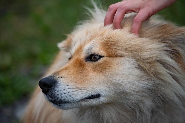 De hand van de eigenaar aait een schattige pluizige hondenverzorgingstraining