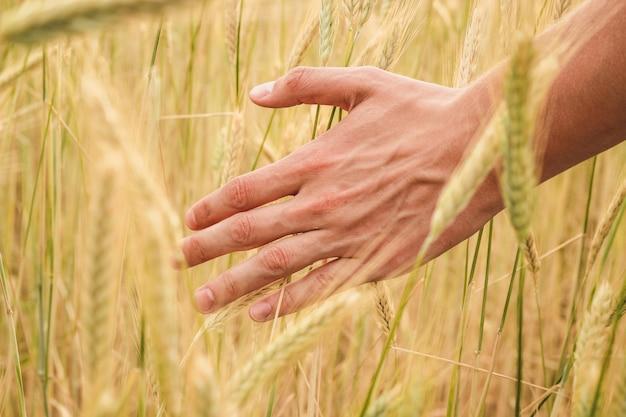 De hand van de jonge mens gaat door gele aartjes van tarwe op een gebied dicht omhoog op een zonnige de zomerdag over