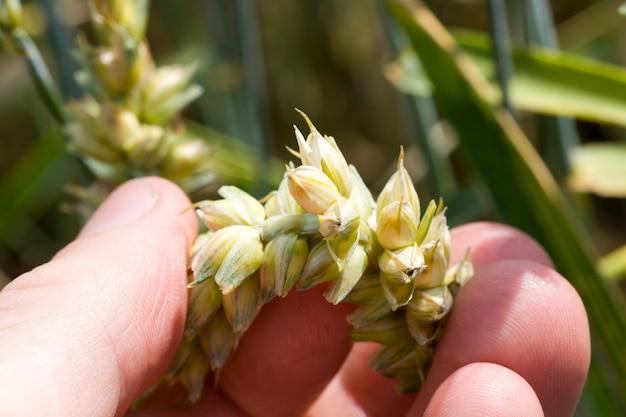 De hand van de mens controleert aartje van groene tarwe, close-up op een landbouwgebied in de zomer of de lente
