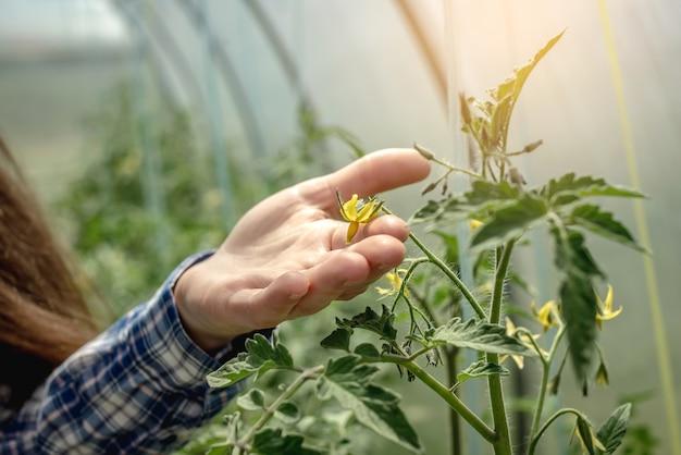 De hand van de vrouw houdt de gele bloem van tomaten zorgvuldig in de kas. concept van de zorg voor planten en het kweken van biologische gezonde groenten. detailopname.