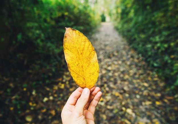 De hand van de vrouw houdt geel blad op de achtergrond van wazig herfstbos.