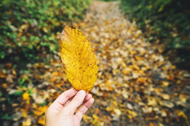 De hand van de vrouw houdt geel blad vast op de achtergrond van gevallen bladeren op het herfstbospad