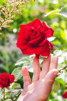 De hand van de vrouw strekt zich uit naar de prachtige rode roos_