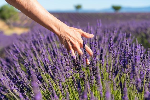 De hand van een 60-jarige vrouw die de bloemen van een lavendelveld aanraakt