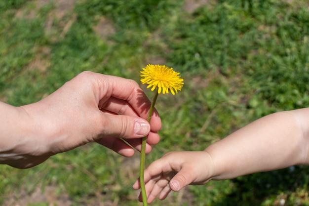 De hand van een kind geeft de paardebloemen bloemen aan de hand van de moeder. twee handen worden een bloem vastgehouden.