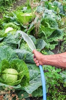 De hand van een oudere tuinman giet water uit een slang op de koolbedden
