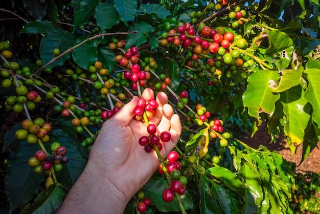 De hand van een persoon die koffiebonen op de boom houdt.