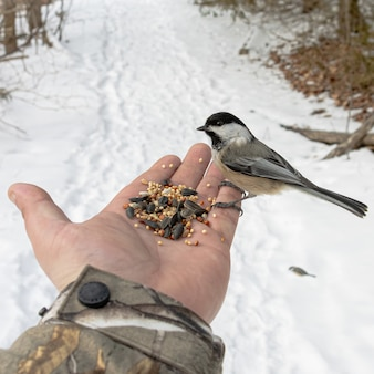 De hand van een persoon met zaden voedt een mus