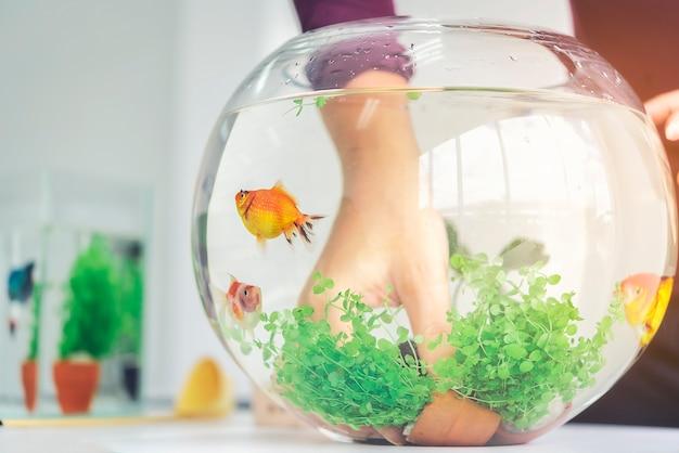 De hand van een vrouw decoreert het aquarium in een vissenkom als een hobby.