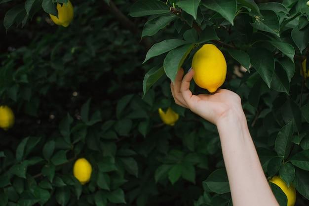 De hand van een vrouw plukt een rijpe citroen van een tak close-up