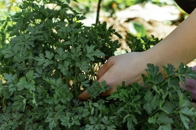 De hand van een vrouw plukt peterseliebladeren in de tuin.