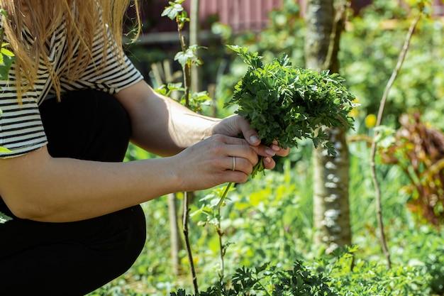 De hand van een vrouw plukt peterseliebladeren in de tuin
