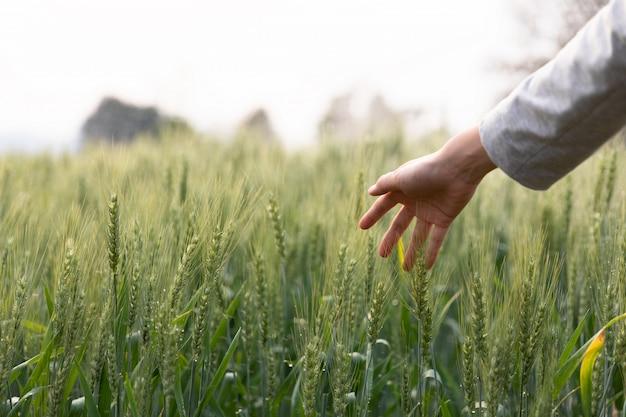 De handaanraking van de vrouw over het groene gebied van gerst. sfeervol authentiek moment. stijlvol meisje genieten van rustige avond in platteland. kopieer ruimte. landelijk langzaam leven