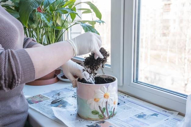 De handen die van de vrouw plant a overplanten in een nieuwe pot
