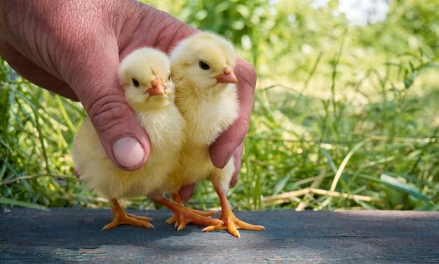 De handen houden jonge gele kuikens.
