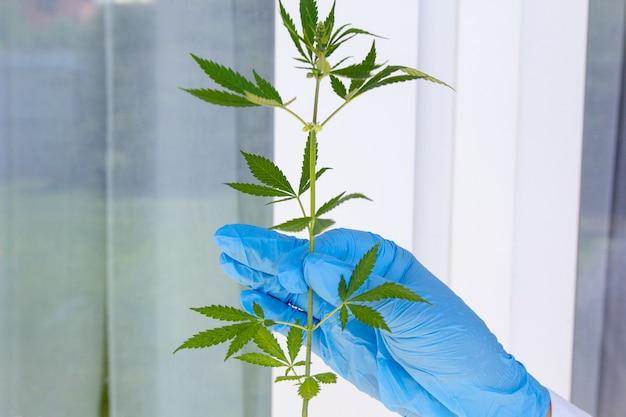 De handen van de arts houden tak branch cannabis, marihuana voor legalisatie medische olie hennep