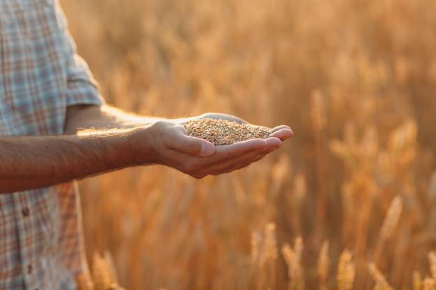 De handen van de boer houden rijpe tarwezaden vast na de oogst
