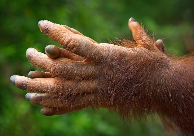 De handen van de orang-oetan spelen in de natuur.