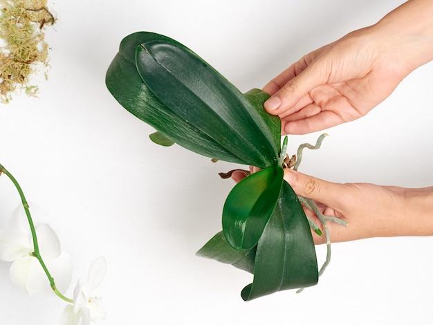 De handen van de vrouw transplanteren orchidee op witte achtergrond