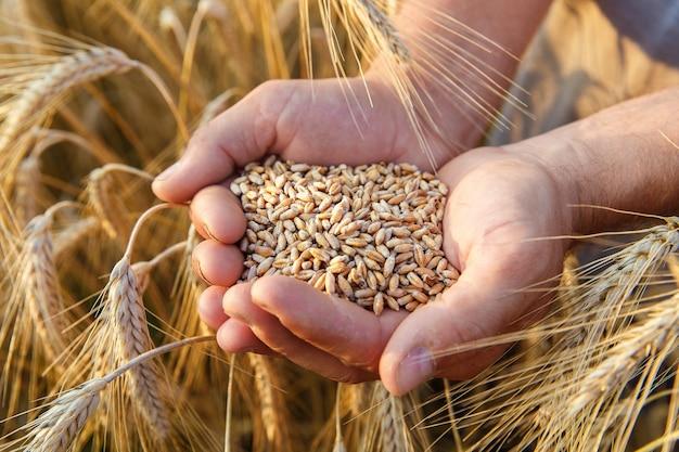 De handen van een boer close-up met een handvol tarwekorrels in een tarweveld.