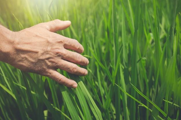 De handen van landbouwer houden van groene rijstbladeren op padieveld.