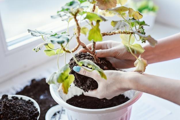 De handen van vrouwen die geraniumbloem met wortel en grond houden, overplanten in nieuwe pot, kunstmest, thuisplantverzorging