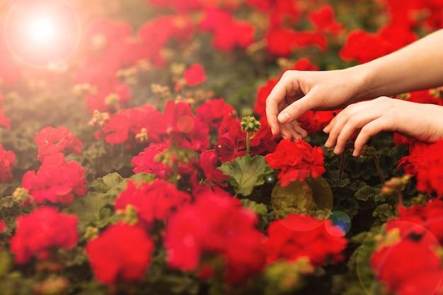 De handen van vrouwen houden mooie rode geraniumbloemen in de tuin