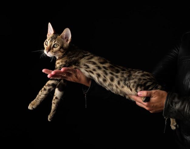 De handen van vrouwen houden rasechte bengaalse kat.