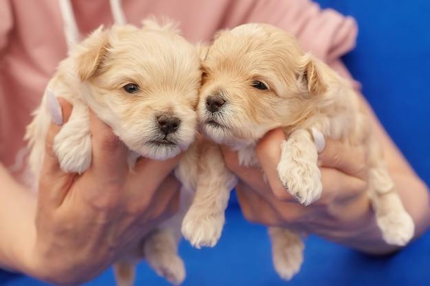 De handen van vrouwen houden twee kleine maltipu-puppy's vast. fotoshoot op een blauwe achtergrond
