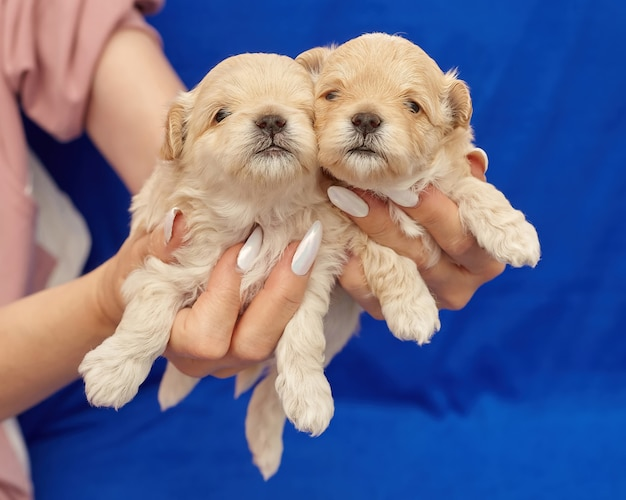De handen van vrouwen houden twee kleine maltipu-puppy's vast. fotoshoot op een blauwe achtergrond.