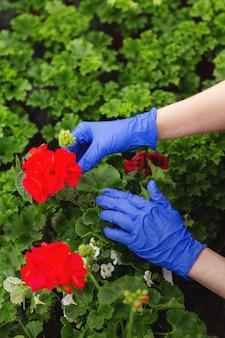 De handen van vrouwen in blauwe wanten worden overladen mooie rode geraniumbloemen in de tuin